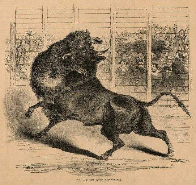 Tjur och björn slåss i Algiers, New Orleans